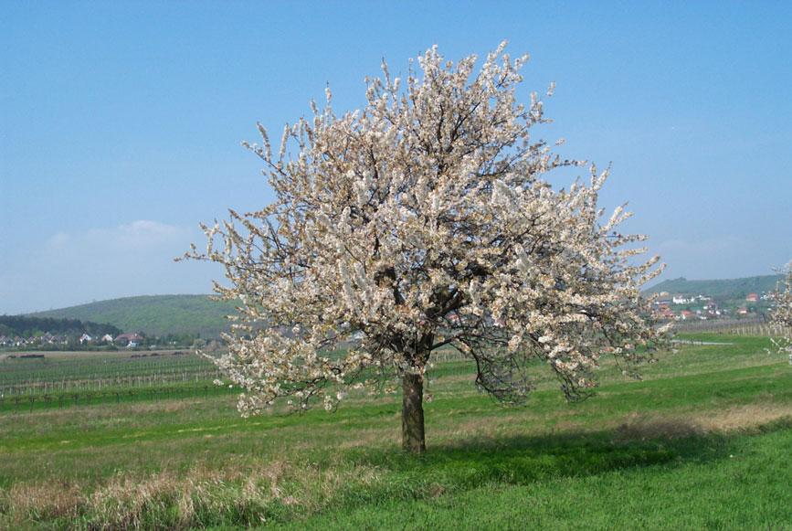 Managementvorschläge Streuobstbestände Kirschblütenregion